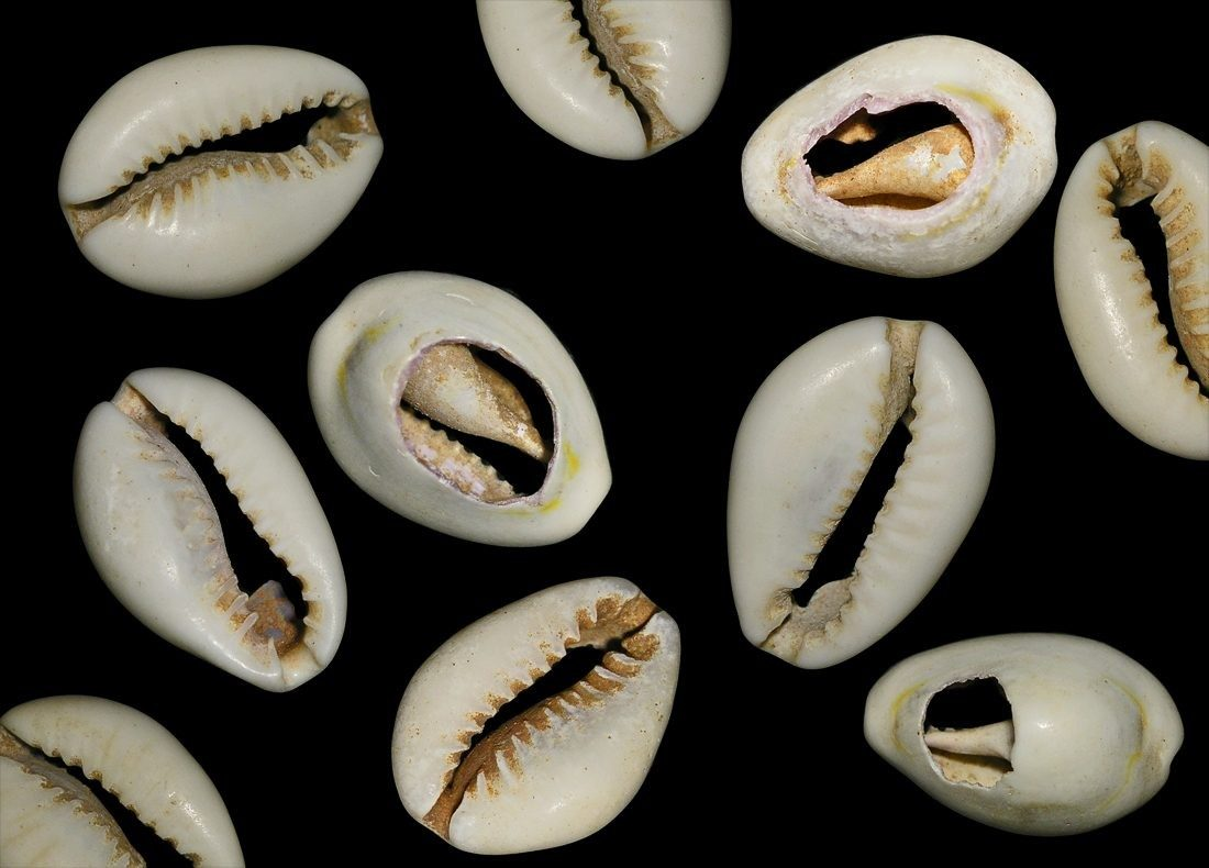 COWRIE-SHELLS